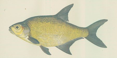 FMIB 46298 Lake Bream.jpeg